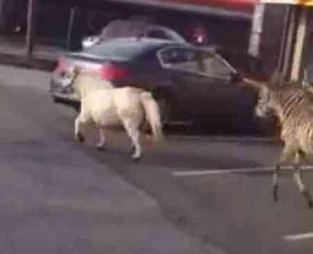 Pony and Zebra on the Loose in Staten Island (You Tube Image)