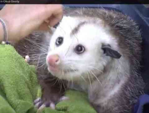 Barley -- The Awesome Oppossum (You Tube Image)