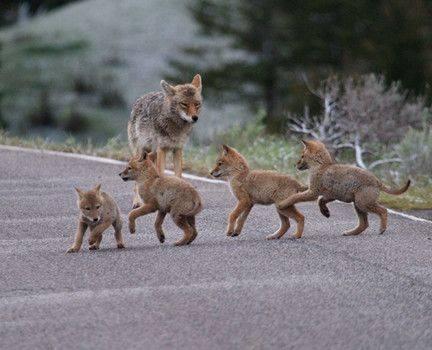 "Wolf Cub ""Scouts"" (Image via Prima ZOOM)"