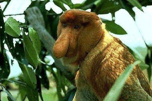 Proboscis Monkey (Photo by Nemesea/Creative Commons via Wiiimedia)