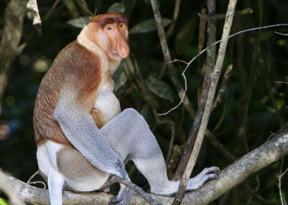 Proboscis Monkey (Photo by David Dennis/Creative Commons via Wikipedia)