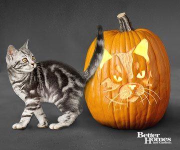 American Short-Hair Cat Pumpkin
