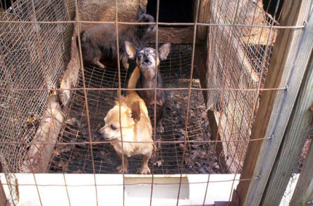 Dogs In A Puppy Mill Cage (Public Domain Image)