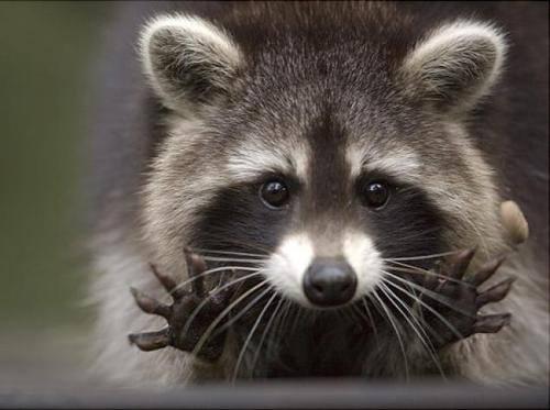 Raccoon (Photo via The Rainforst Site)