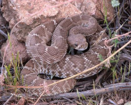 Rattlesnake (Photo by Rsduhamel/Creative Commons via Wikimedia)