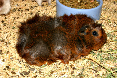 Can You Teach Guinea Pig Use Litter Box 5 Things You Can
