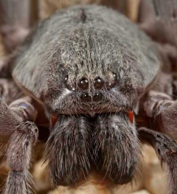 Baseball-sized Spider With Red Fangs Discovered In Baja California