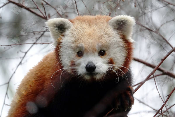 Red Panda Pair Anchors Endangered Species Program At Scottish Zoo
