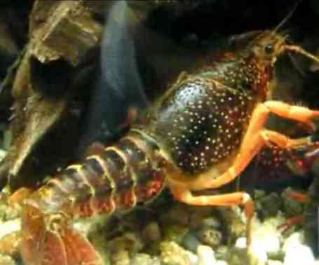 Red Swamp Crayfish (You Tube Image)