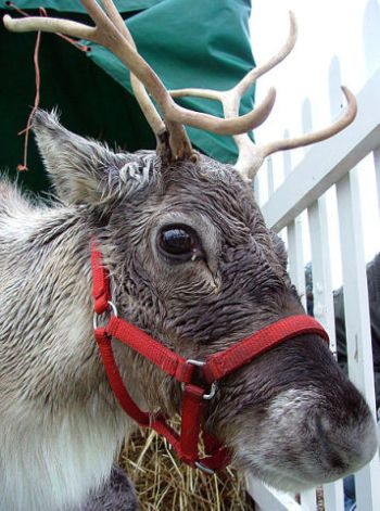 Reindeer (Photo by Keven Law/Creative Commons via Wikimedia)