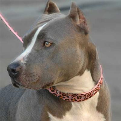 Pink Panther Dog Leash & Collar on doggone stunning dog model
