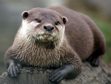 Otter (Photo by Keven Law/Creative Commons via Wikimedia)