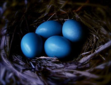 Robin eggs: (Photo by Funkybeatz /Creative Commons via Flickr)