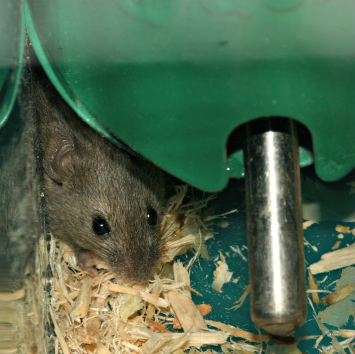 rodents as escape artists