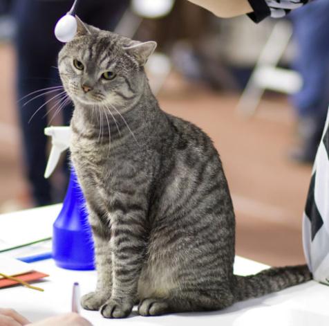 Tabby Cat (Photo by Heikki Siltala/Creative Commons via Wikimedia)
