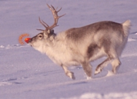 Rudolph the Red-Nosed Reindeer (Photo by Lomvi/Creative Commons via Wikimedia)
