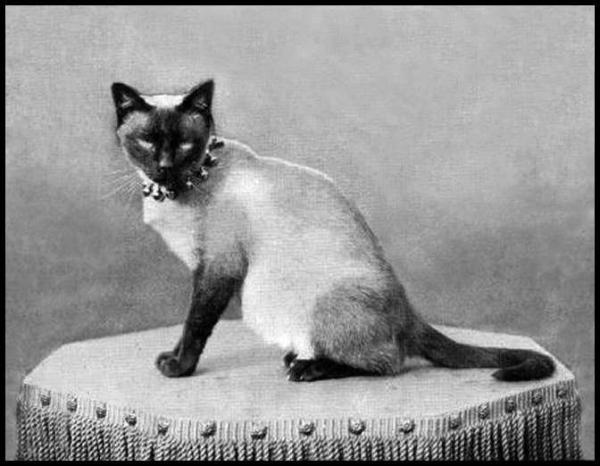 President Hayes' Siamese Cat