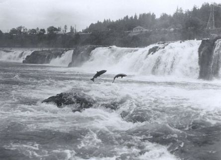 Salmon at Willamette Falls (Public Domain Image)