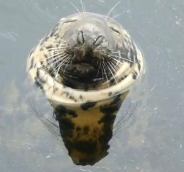 Snoring Seal Sammy Snuffles Sonorously, Snoozing Serenely In Scottish Sea