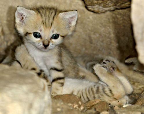 Sand Cat kitten at the Zoo Tel Aviv Ramat-Gan: photographer: Tibor Jäger image viia zooborns.com