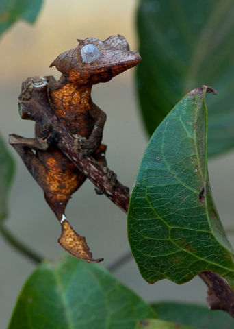 Satanic Leaf-Tailed Gecko (Photo by Alextelford/Creative Commons via Wikimedia)