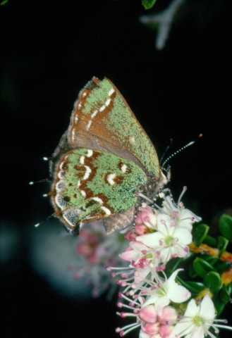 Hessel's Hairstreak on Sand Myrtle