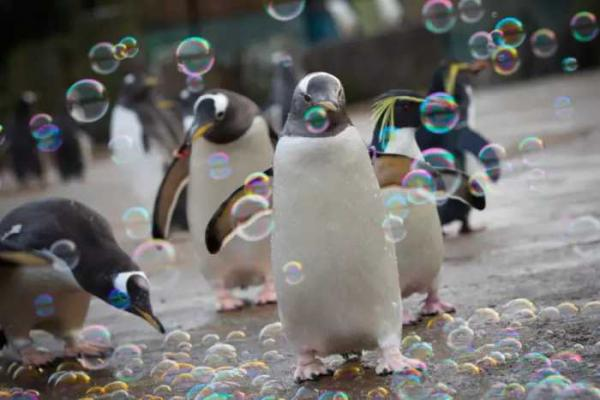 Penguins At Edinburgh Zoo Celebrate Penguin Awareness Day With A Bubble Machine