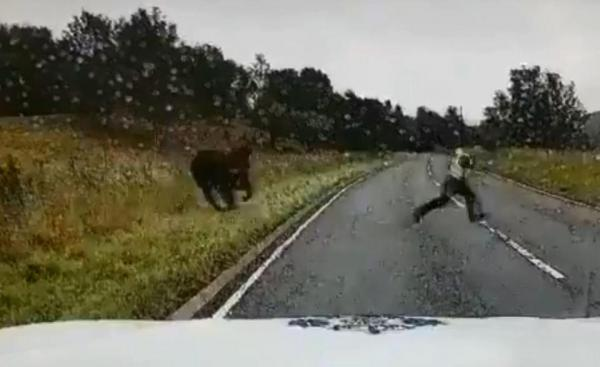 Cantankerous Cow Charges Compassionate Cop