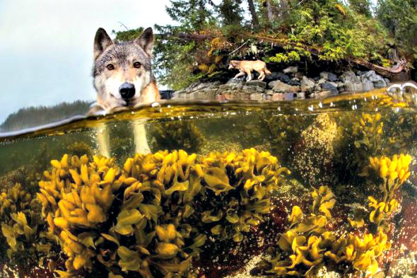 rare sea wolves of BC