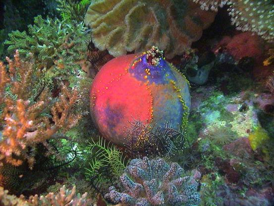 Not So Fugly Sea Apple (Photo by Rangerbait/Creative Commons via Wikimedia)