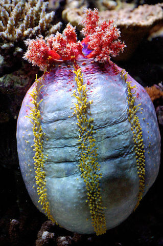 Sea Apple (Photo by Marrabbio2/Creative Commons via Wikimedia)