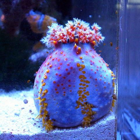Sea Apple (Photo by OpenCage/Creative Commons via Wikimedia)