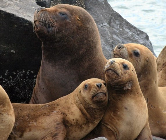 Sea Lions (Photo by Nestor Galina/Creative Commons via Wikimedia)