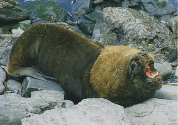 Male Southern Sea Lion (Photo by Brocken Inaglory, Creative Commons via Wikimedia)
