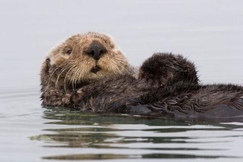 Sea Otter (Photo by Mike Baird/Creative Commons via Wikimedia)