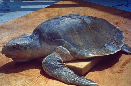 Sea Turtle (Public Domain Photo)