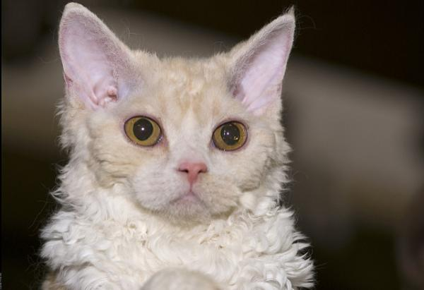 Curly-Haired Selkirk Rex Cats Shown To Be Genetically Distinct