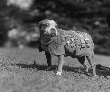 Sergeant Stubby (Public Domain Photo)