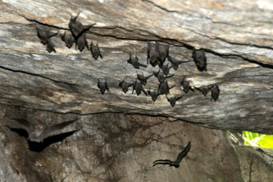seychelles sheath-tailed bat endangered species