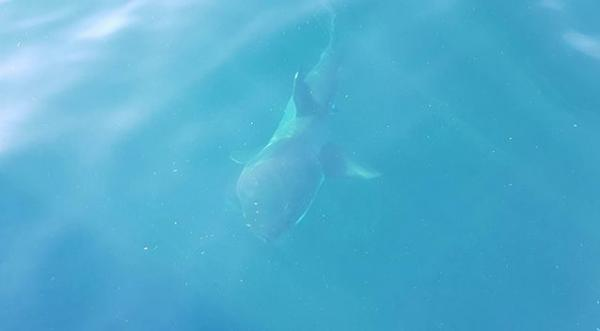 Great White Shark Snaps Up Landlubber's Lost Lunch