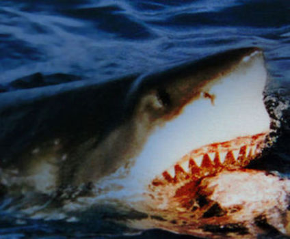 Shark Taking The Bait (Photo: Brocken Inaglory/Creative Commons via Wikimedia)