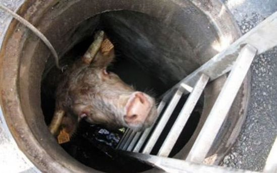 Oh Grate The Top 10 Animals Stuck In On Amp Under Manhole