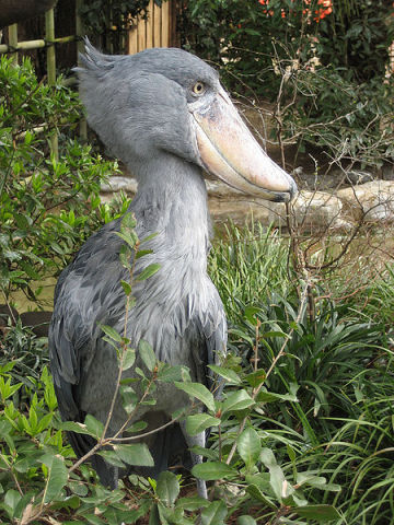 Shoebill (Public Domain Image)