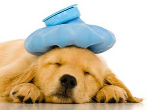 Sick puppy: image via encinavet.com