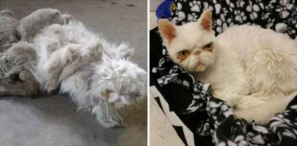 Rescued Cat With Horribly Matted Fur Undergoes Life-Shaving Transformation