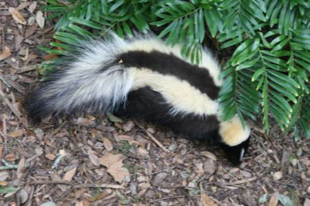 Skunk (Photo by Kevin Bowman/Creative Commons via Wikimedia)