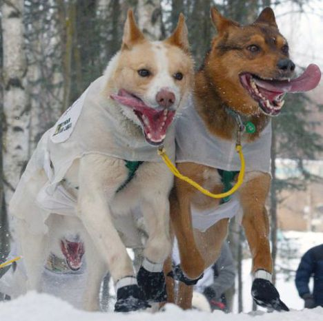 Sled Dogs in Action (Photo by Frank Kovalchek/Creative Commons via Wikimedia)