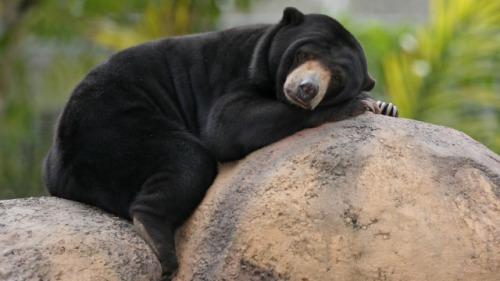 Sleepy Sun Bear