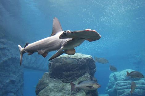 Hammerhead Shark: (Photo by * cris */Creative Commons via Flickr)