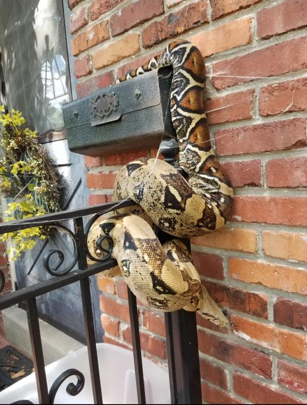 Oversized Snake Constricts Mailbox, Conflicts Mailman